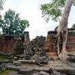 Giant tree covering TProm temple, Siem Reap, Cambodia — Stock Photo #28339893