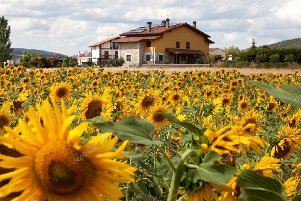 Prati di girasole in una giornata di sole con fattoria for Piani di fattoria con foto
