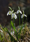 Spring flower snowdrop — Stock Photo