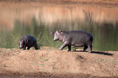 Playing Hippos. — Stock Photo