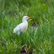 Egret in the wild. — Stock Photo
