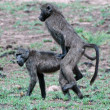 Baboon sex. — Stock Photo #14053985
