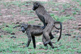 Baboon sex. — Stock Photo