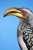 Southern hornbill. — Stock Photo