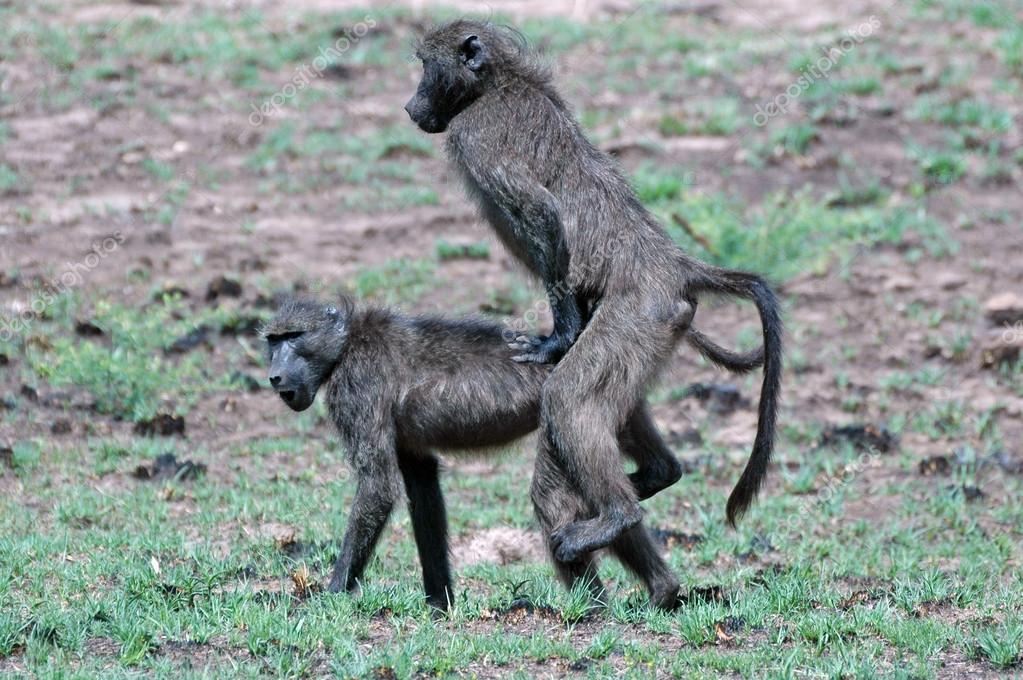 Секс с бабуином 2 фотография