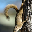 Stock Photo: Tree Squirrel.