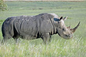 White Rhinoceros. — Stock Photo