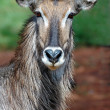Waterbuck portrait. — Stock Photo #14656513