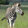 Zebra. — Stock Photo #14656579