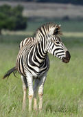 Zebra. — Stock Photo