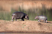 Young Hippos. — Stock Photo
