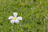 White flower on grass — Stock Photo