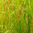 Ear of rice paddy — Stock Photo