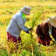 Farmers were harvesting rice by hand in Thailand. — Stock Photo #14583171