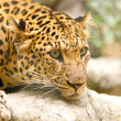 Leopard — Stock Photo #17130269
