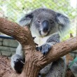 Stock Photo: Sleepy koala