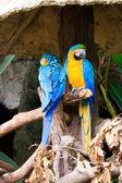 Blue and yelow macaw love bird — Stock Photo
