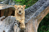 Female Lion lying on the branch of tree — Stock Photo