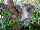 Sleepy koala — Stock Photo