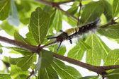 Macro image of forest tent caterpillar moth, malacosoma disstria — Stock Photo