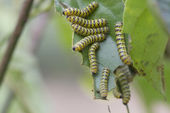Colorful caterpillar (Pseudosphinx tetrio) shot in tropical Jama — Stock Photo