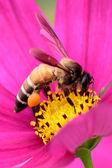 Honeybee pollinated of pink flower — Stock Photo