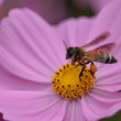 Bee in flower bee amazing,honeybee pollinated of pink flower — Stock Photo #41124145