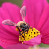 Bee in flower bee amazing,honeybee pollinated of pink flower — Stock Photo