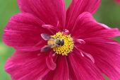 Bee in flower bee amazing,honeybee pollinated of red flower — Stock Photo