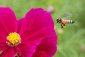 Bee in flower bee amazing,honeybee pollinated of red flower — Stock Photo