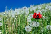 Poppy in dandelions field — ストック写真