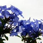 ������, ������: Indigo flower