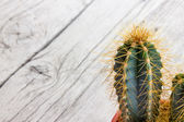 Cactus plant with thorns — Stock Photo