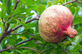 Granatapfel — Stockfoto