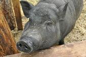 Decorative pig — Stock Photo