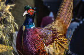 Orman tavuğu büyük bir kuş ailesi sülün — Stok fotoğraf