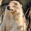 Marmot - mammal, representative of rodents — Stock Photo