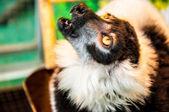 Ruffed lemur — Stock Photo