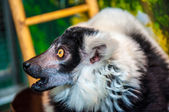Ruffed lemur — Stock Photo
