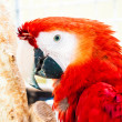 Stock Photo: Scarlet Macaw Aror Macaw Ara