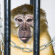 The monkey in the cage — Stock Photo