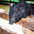 Stock Photo: Small, black piglet