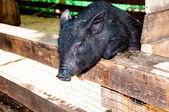 Small, black piglet — Stock Photo