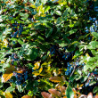 Mahonia aquifolium evergreen shrubs, the genus Mahonia — Stock Photo
