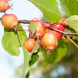 Malus baccata Red Obelisk — Stock Photo