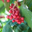 Stock Photo: Viburnum is genus of woody flowering plants in family Adoxaceae