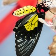 Stock Photo: Transformation of chrysalis to Butterfly Troides Rhadamantus