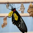 Transformation of the chrysalis to Butterfly Troides Rhadamantus — Photo