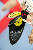 Transformation of the chrysalis to Butterfly Troides Rhadamantus — Stock Photo