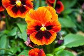 Flowers pansies or charming viola — Foto Stock